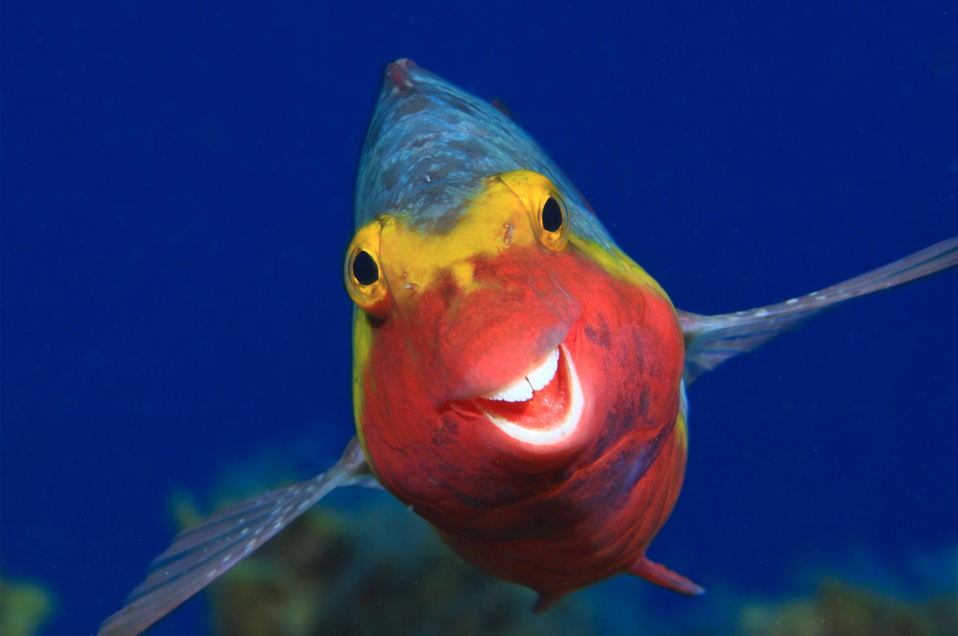 """En Kretensisk papegojfisk som har en riktigt bra dag i vattnet nära ön El Hierro som tillhör Kanarieöarna. Bilden heter """"Smiley""""."""