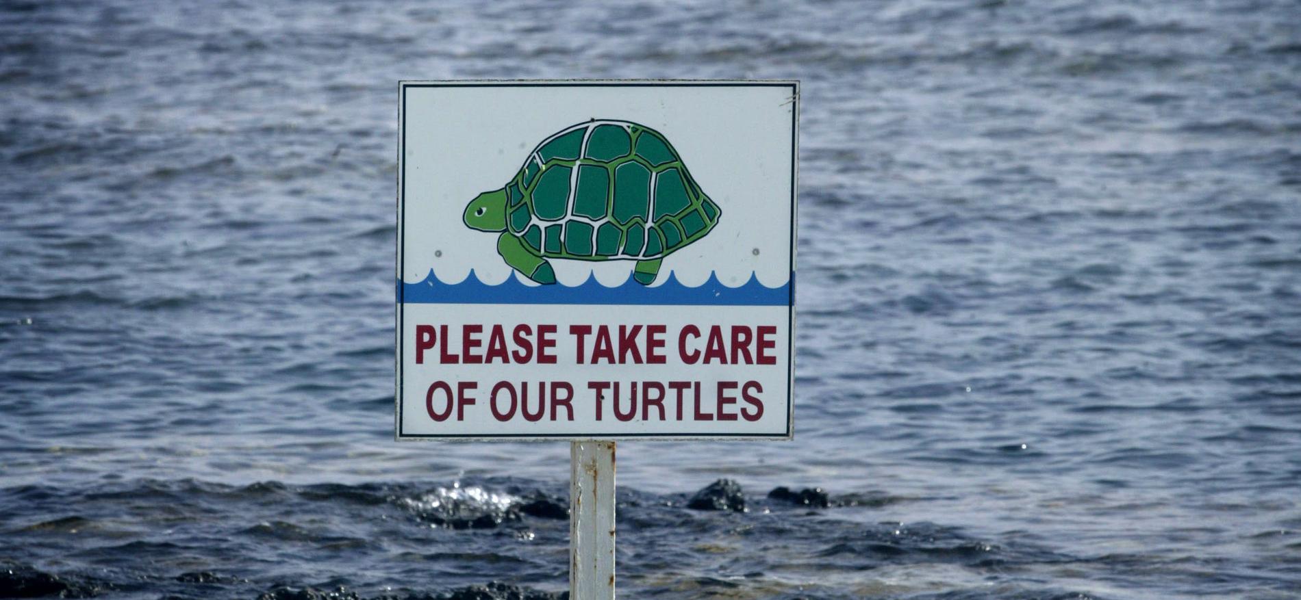 Medelhavets sköldpaddor riskerar att dö ut.