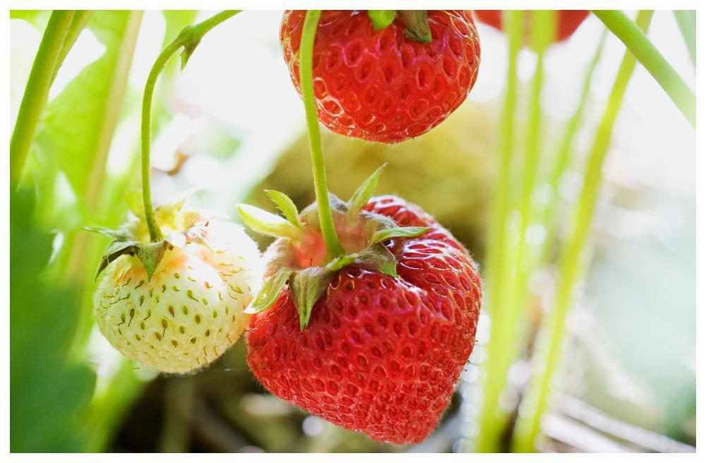Ingen midsommar utan jordgubbar.