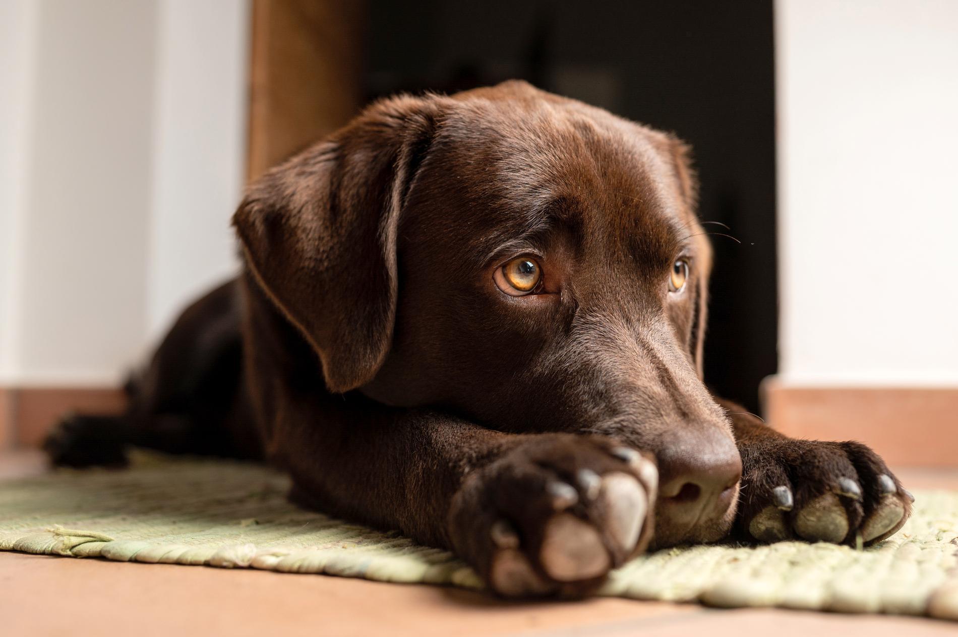Labrador som ligger på golvet och verkar uttråkad.