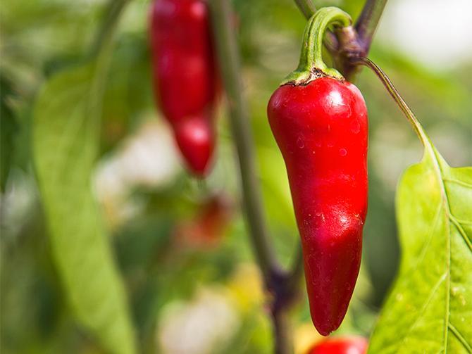 Gabriellas egna favoriter bland odlingarna är chili som hon har många sorter av – snygga och goda.