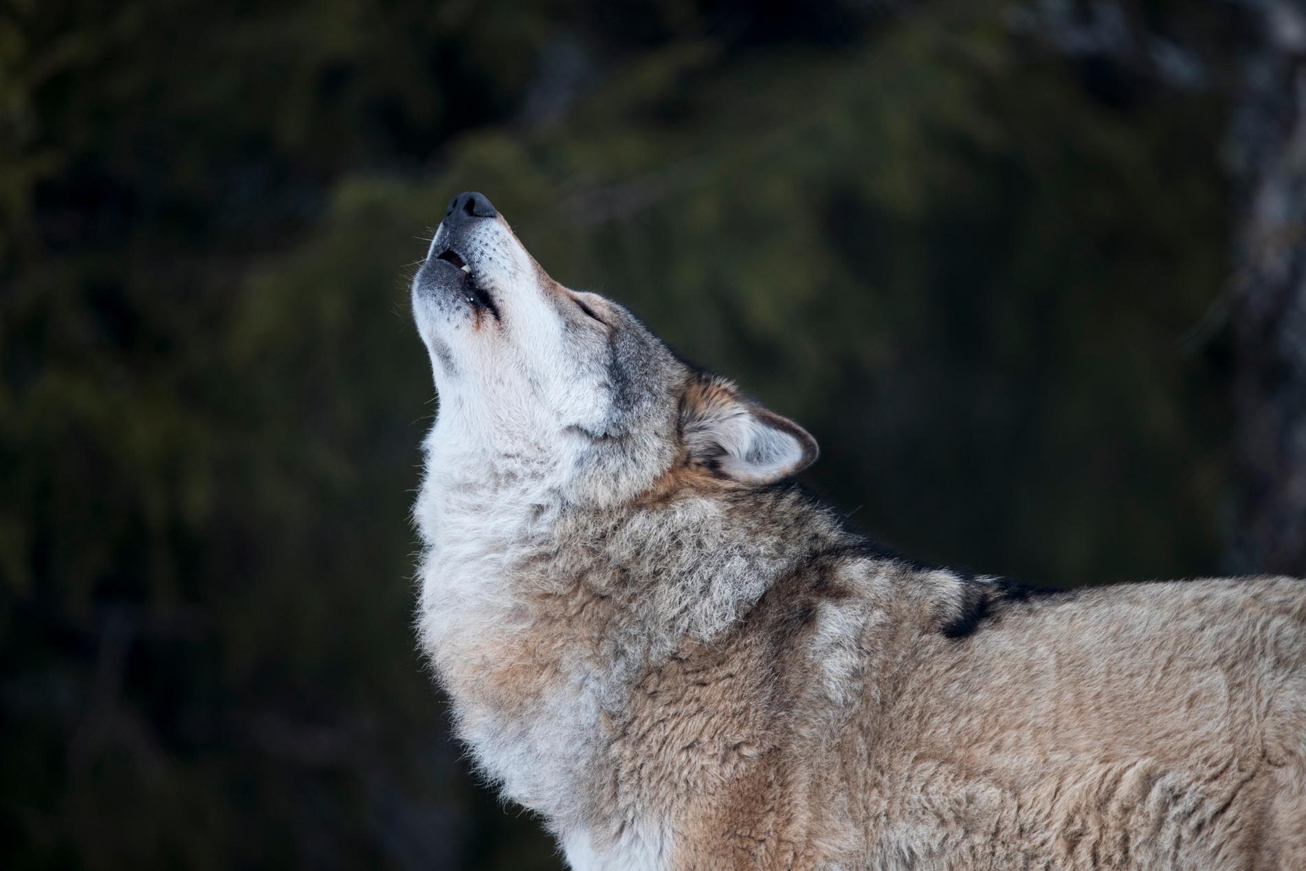 Vargen som sköts var en av tre vargar med finsk-ryskt ursprung som rört sig i Västerbottens och Norrbottens län. Arkivbild på en norsk varg.