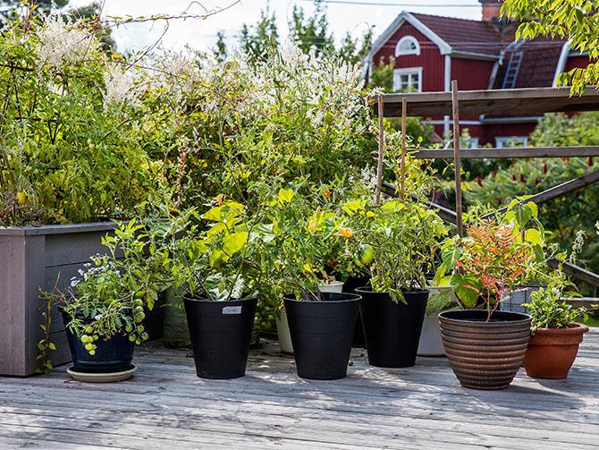 På det stora trädäcket odlar Gabriella bland annat tomater i krukor.