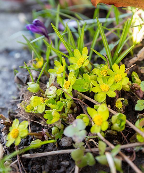 Den lilla gullflockan blommar tidigt hos Ann-Sofie.