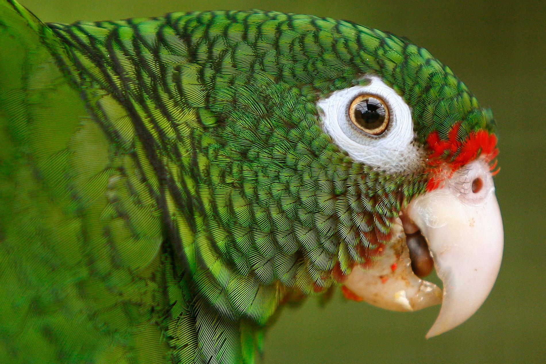 Gråpapegojorna på Lincolnshire Wildlife Park är fula i munnen. Papegojan på bilden är dock av en annan sort och har inget med svordomarna att göra. Arkivbild.