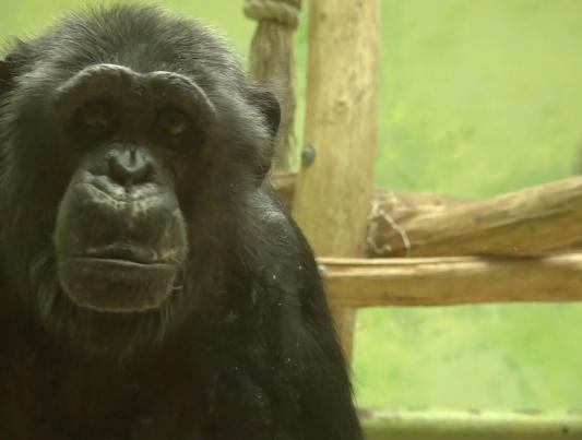 Enligt djurparken sitter Chita ensam när besökarna gått hem.