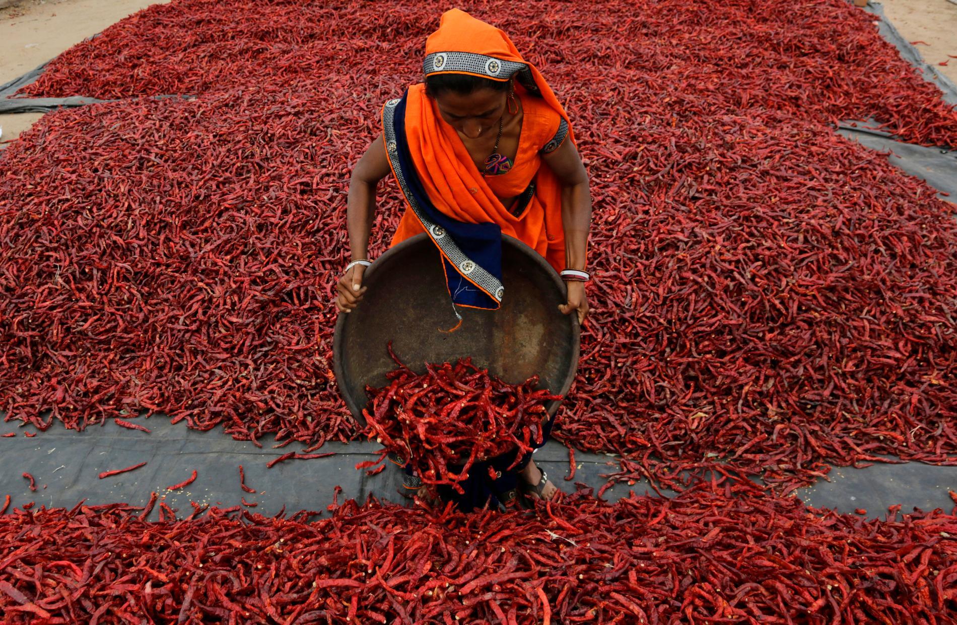 En kvinna sorterar ut chilifrukter vid ett lantbruk i byn Shertha utanför Ahmedabad i nordvästra Indien. Bilden är från den 13 mars.
