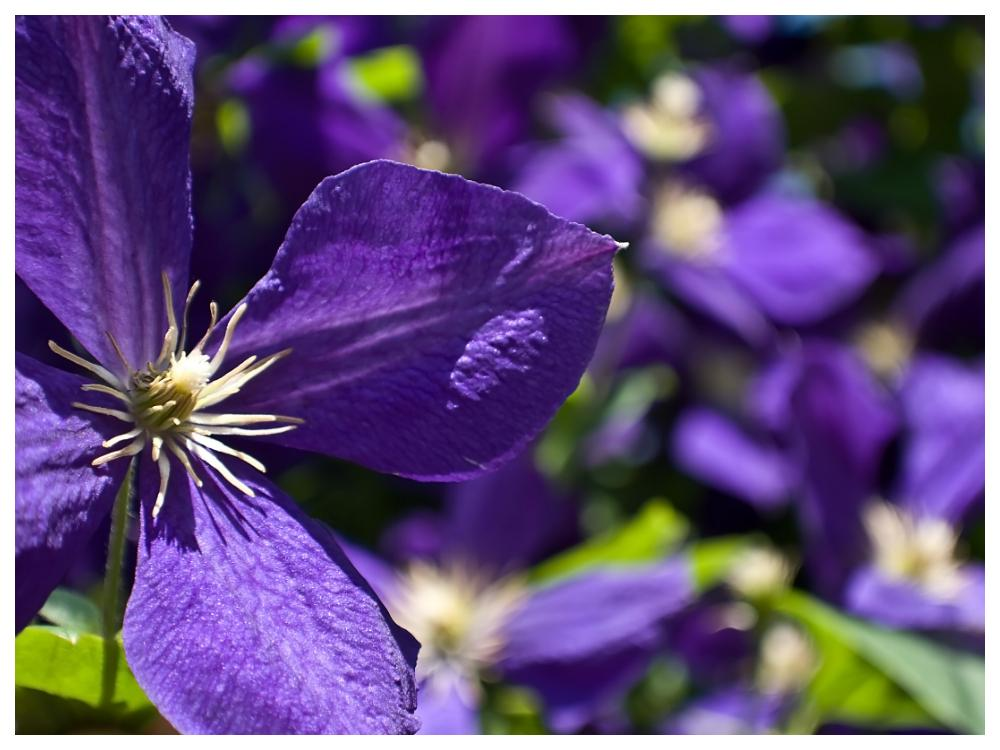 Klassikern Jackmanii har stora mörkt blålila blommor.