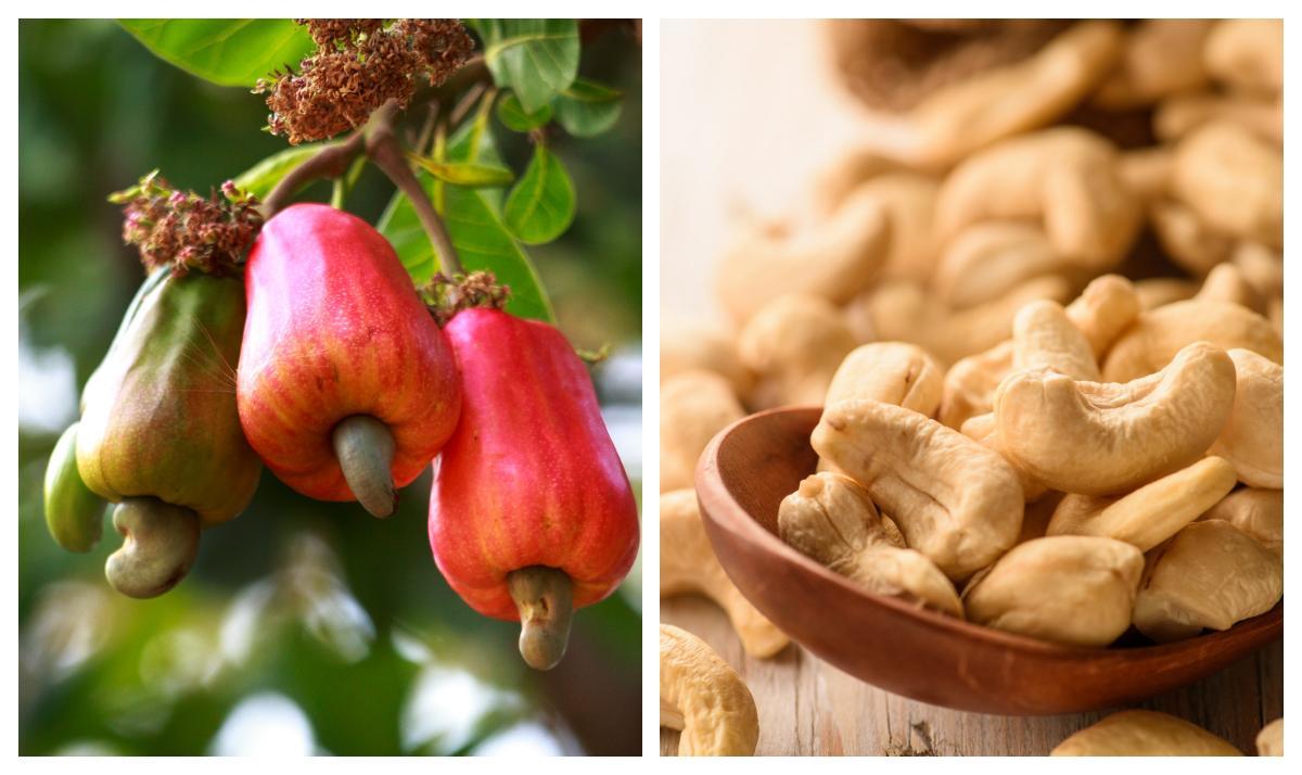 Cashewnöten växer under en falsk frukt.