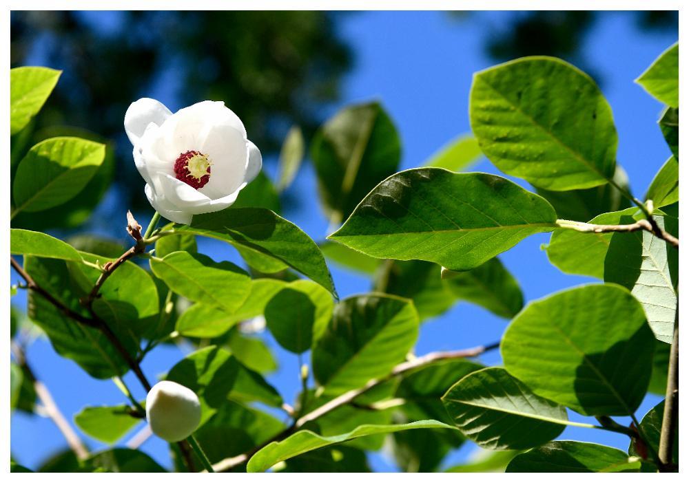 """Magnolian """"Sieboldii"""" blommar med stadiga blommor och har stora, kritvita knoppar."""