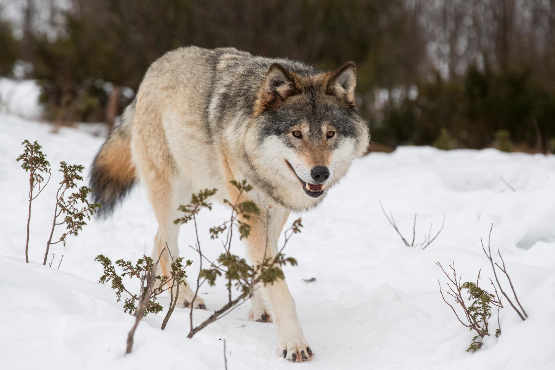 Förvaltningsrätten i Luleå har rivit upp ett beslut om skyddsjakt av två vargar. Arkivbild.