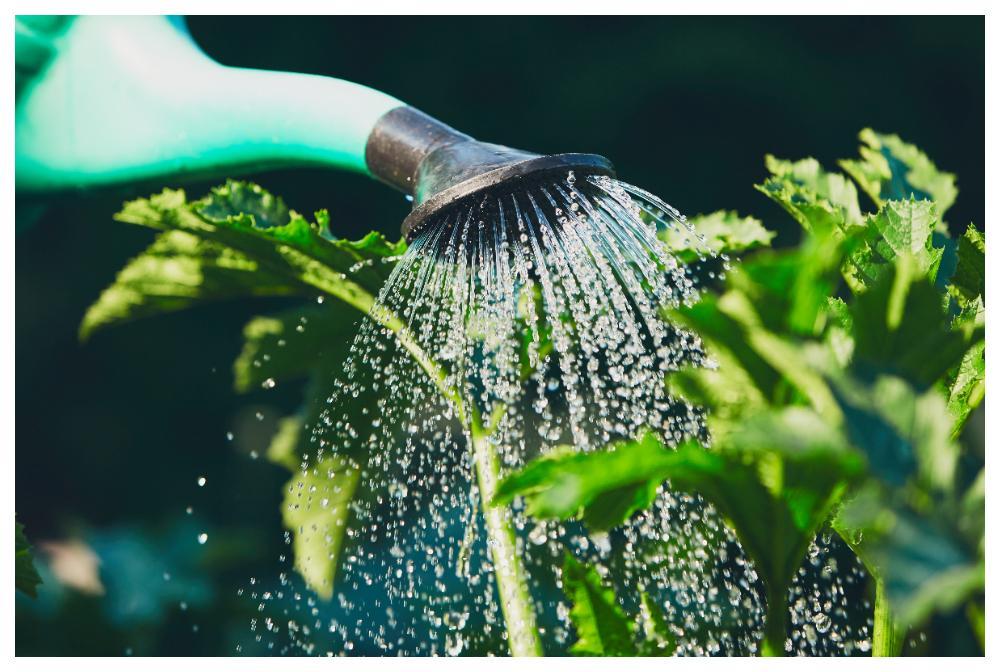 Vattna, rensa och gallra, grönsaksodlingen kräver lite av din tid.