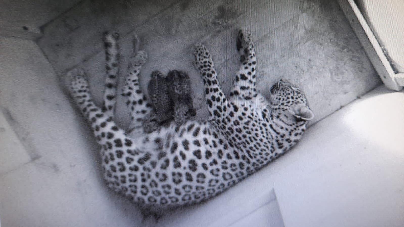 Persiska leopardungar vilar med sin mamma.