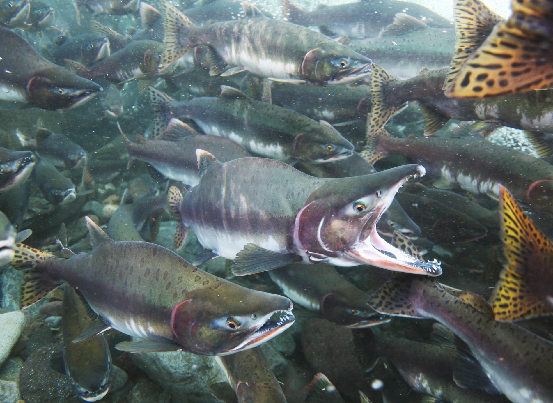 Fisken från Murmansk, puckellaxen.