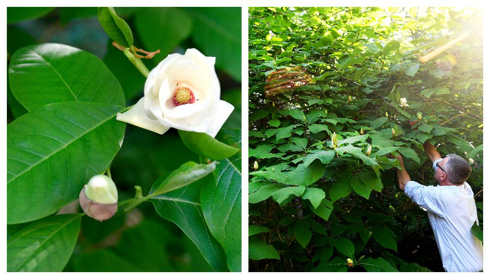 "Magnolian ""Charles coates""."