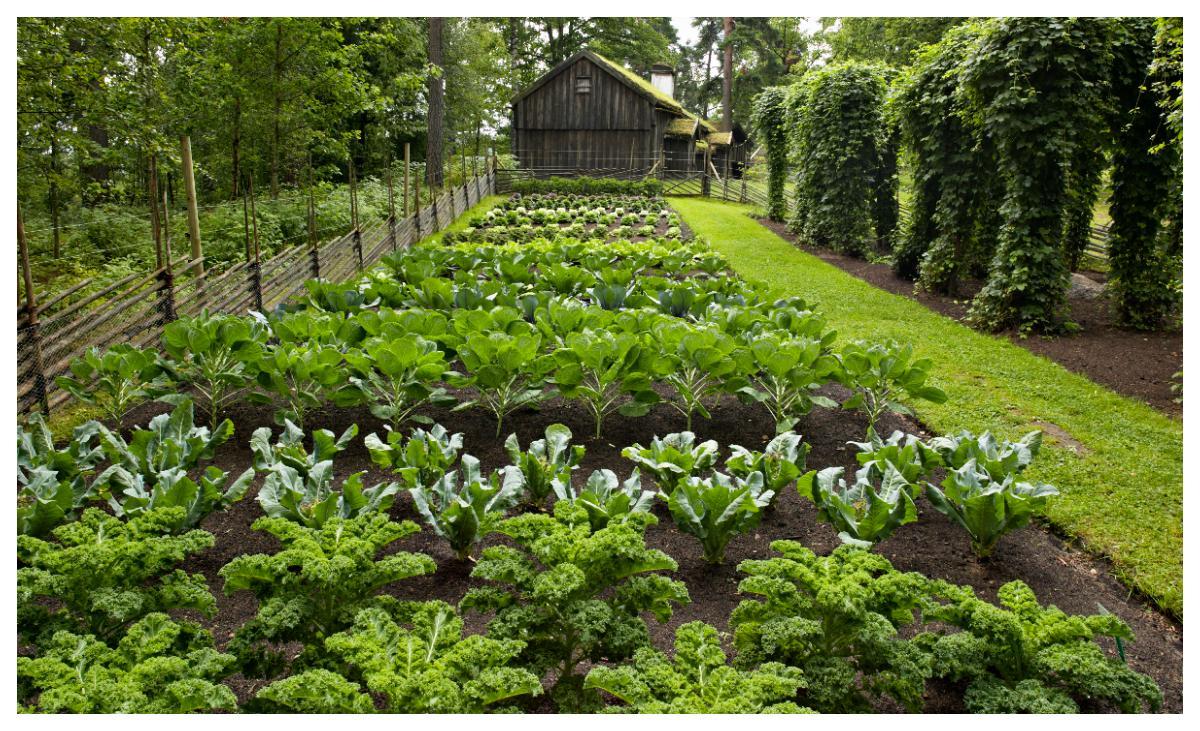 På 1700-talet odlade man ofta i så kallade kålgårdar.