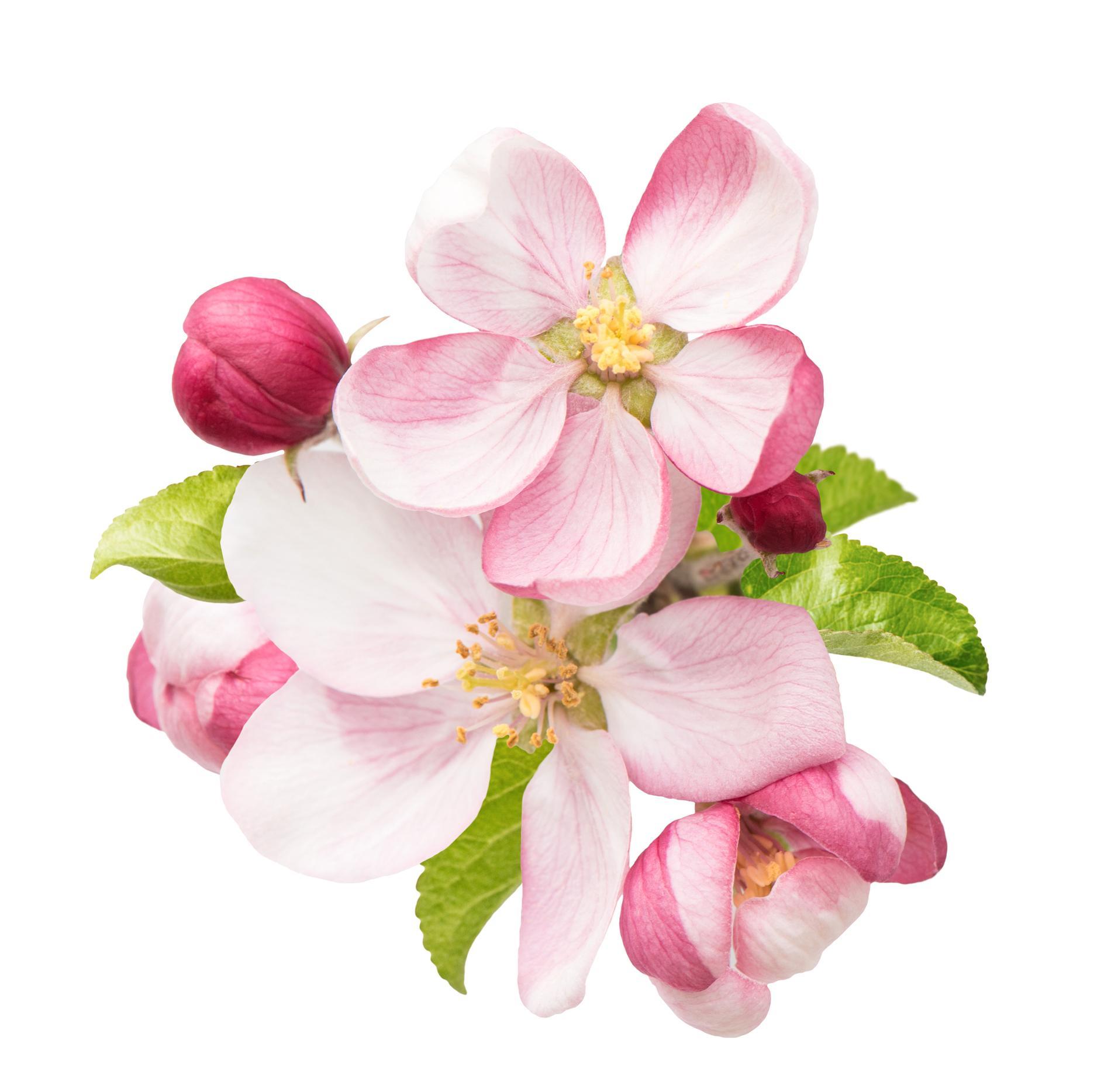 Ta in en kvist från äppelträdet och låt den gå i blom.