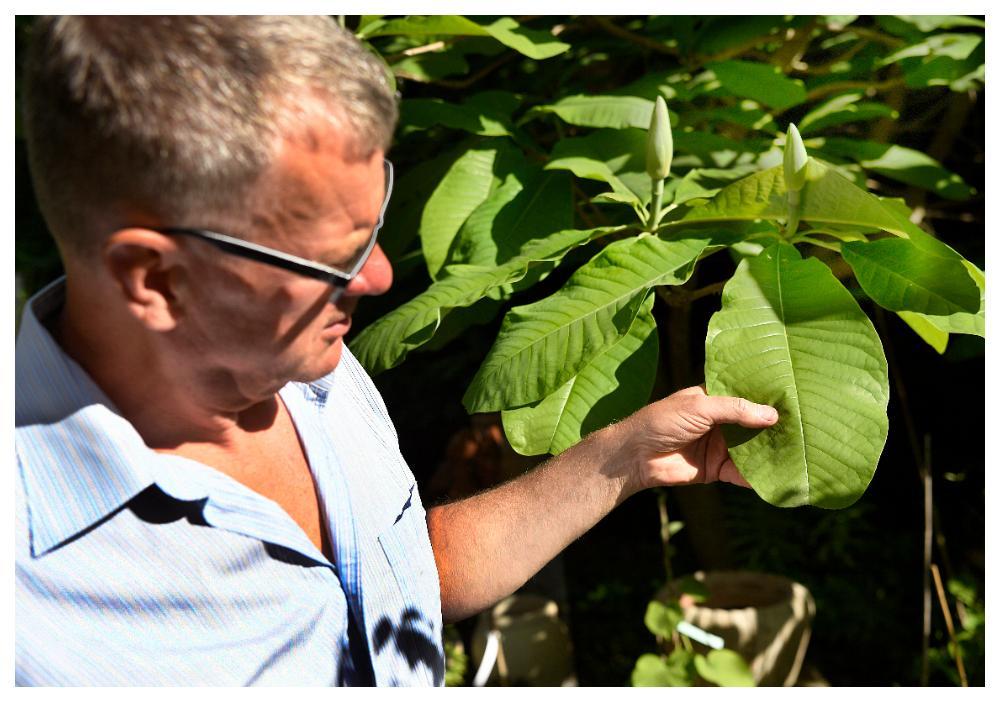 """Bladen på """"Magnolia officinalis biloba"""" är magnifika."""