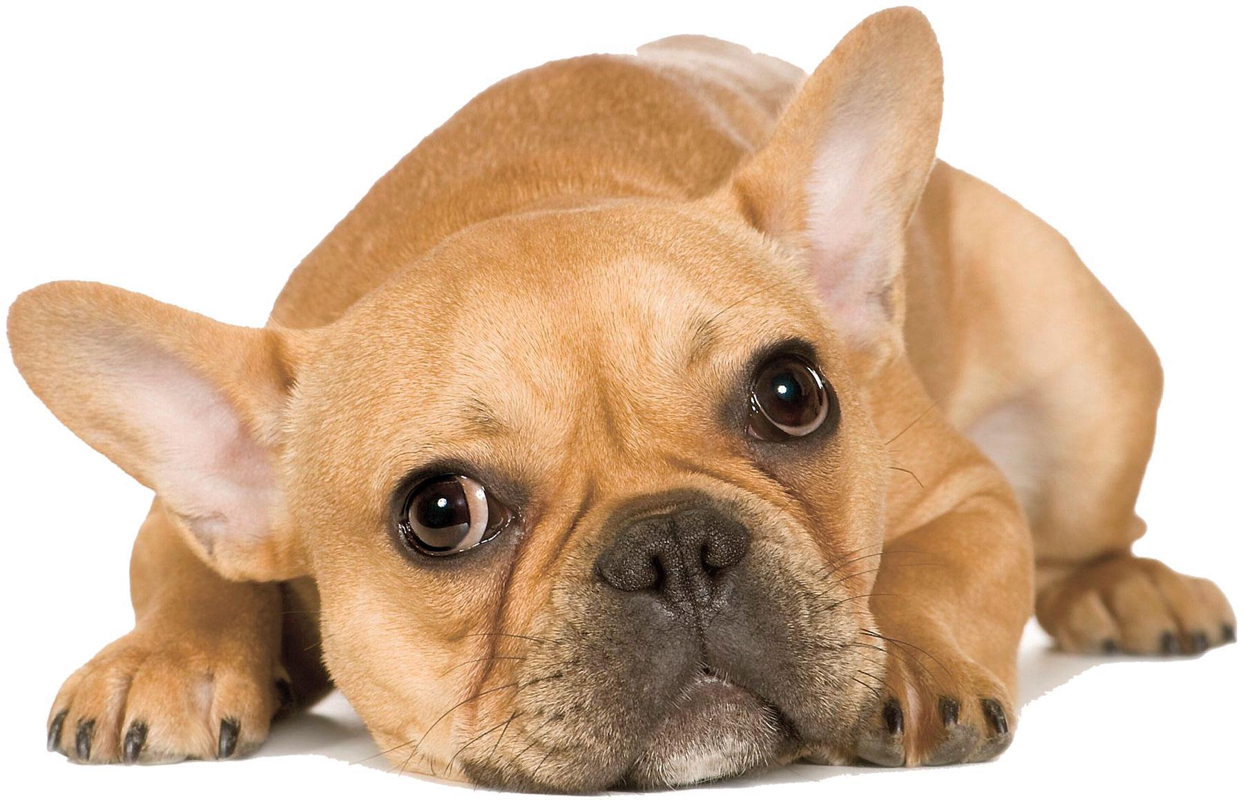 Hunden som dog var av rasen fransk bulldog.