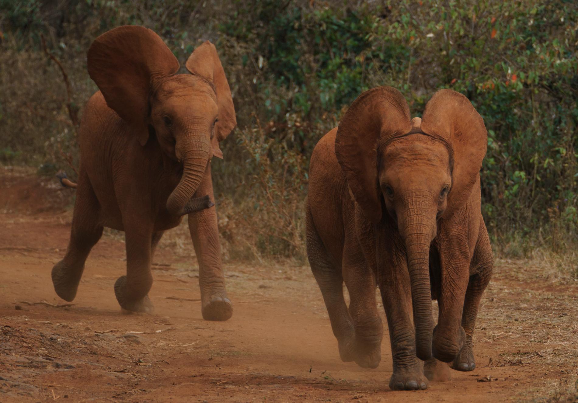 Kenyas elefantbestånd ökar, visar en ny mantalsskrivning för djur. Arkivbild.