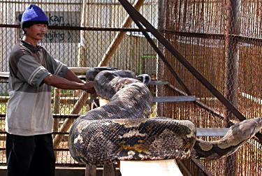 Skötaren Maryoto visar upp den 15 meter långa ormen.