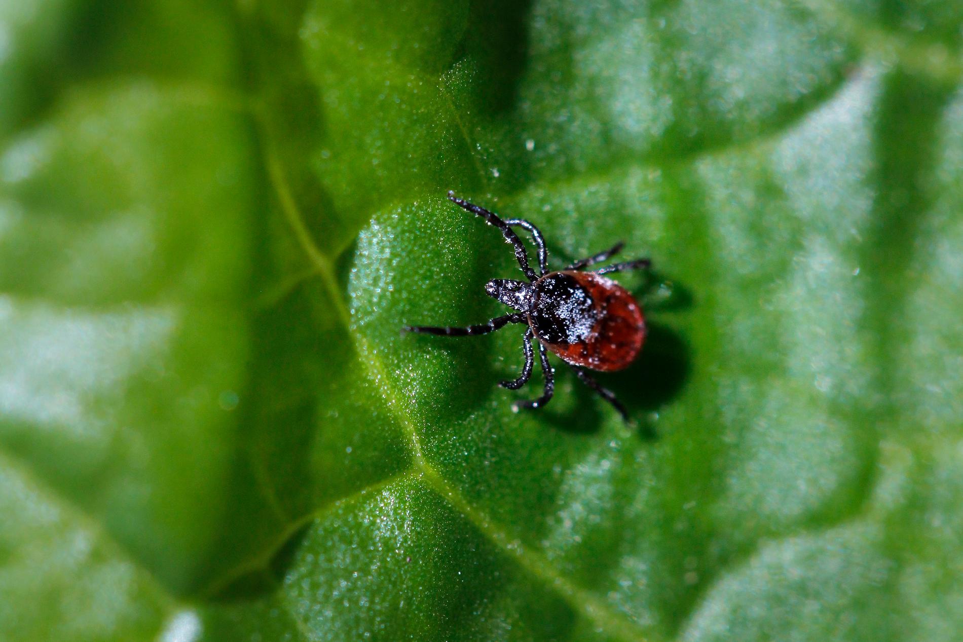 Flera kryp vaknar av den tidiga vårvärmen, bland annat fästingar, myror och humlor. Arkivbild.