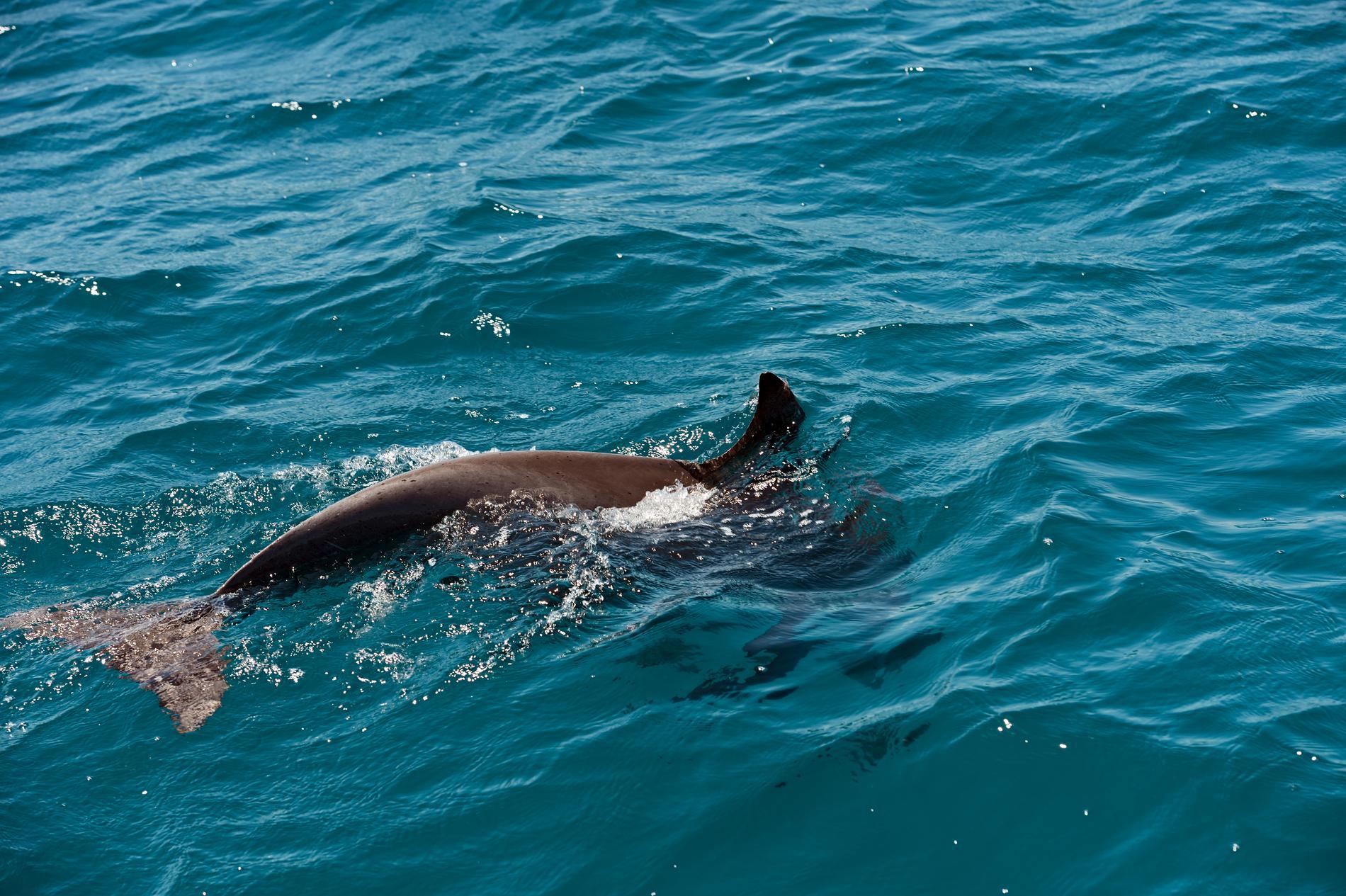 Har du tur så får du syn på en delfin ute till havs.