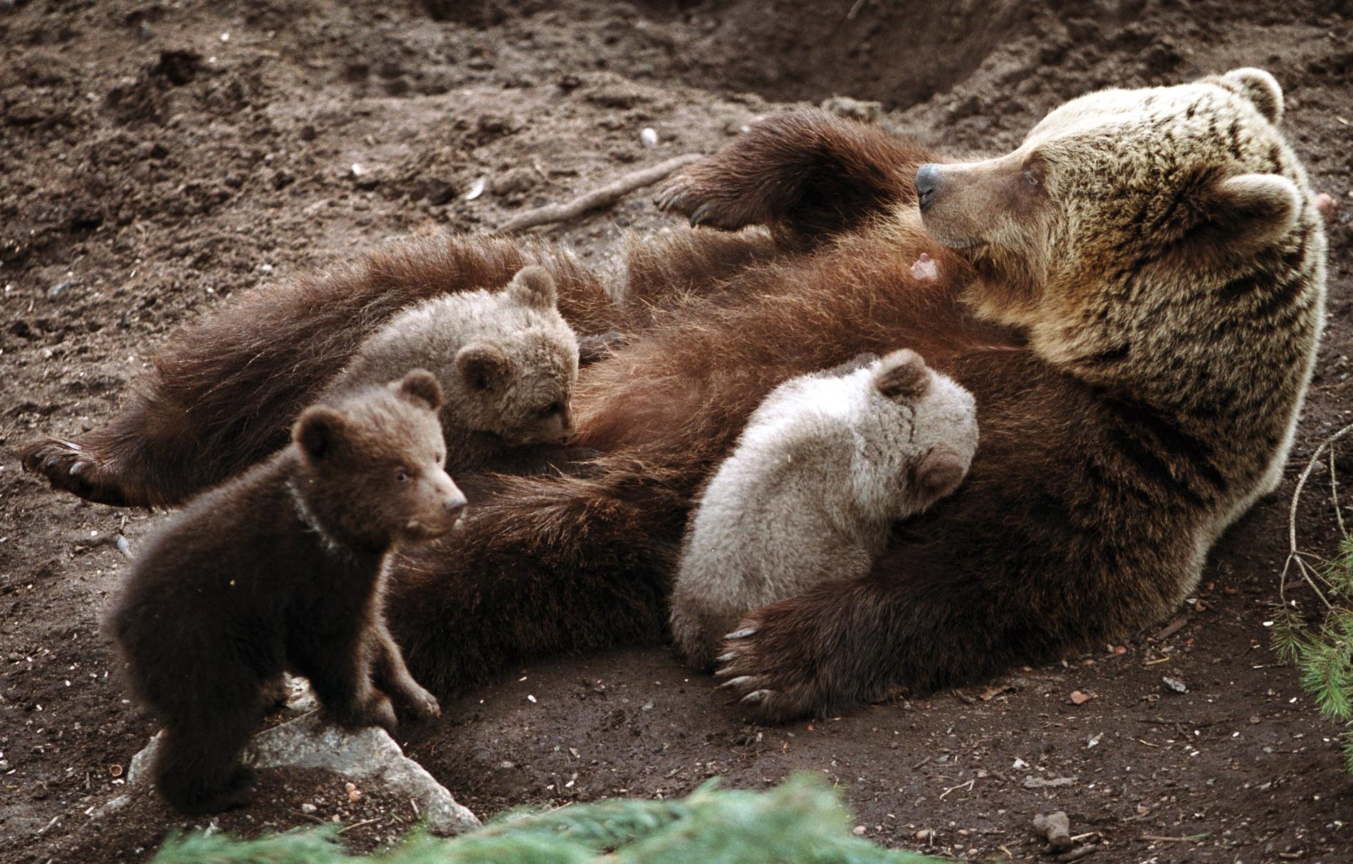 Mannen krockade med en björnfamilj.