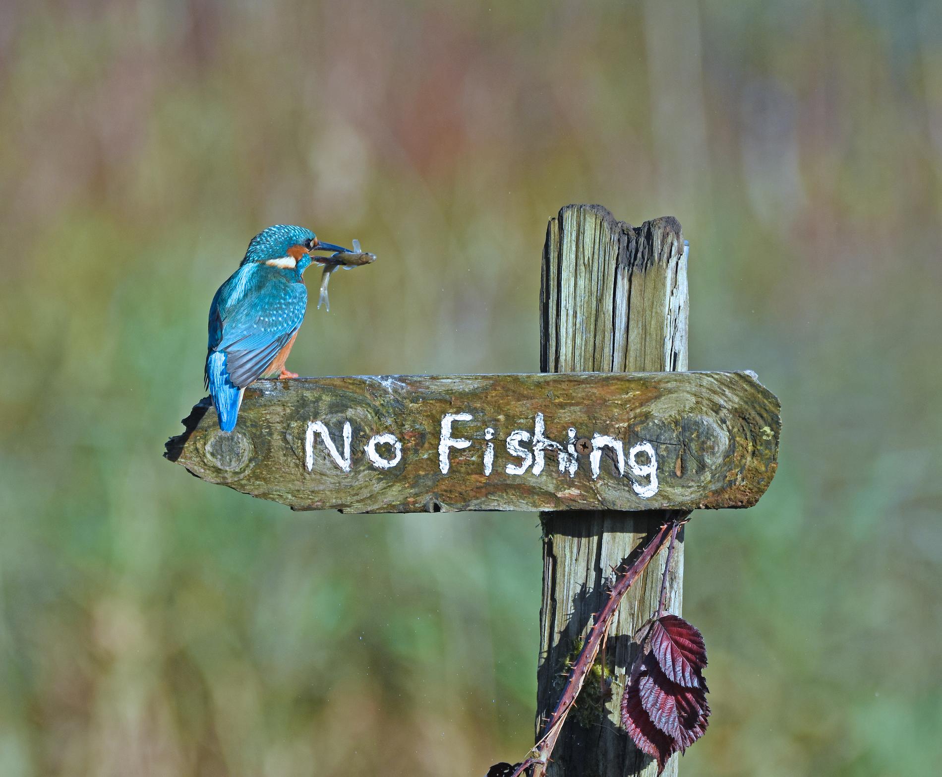 """Bilden heter """"It's a Mocking Bird"""" och föreställer en revolterande Kungsfiskare i Kirkcudbright, Storbritannien."""