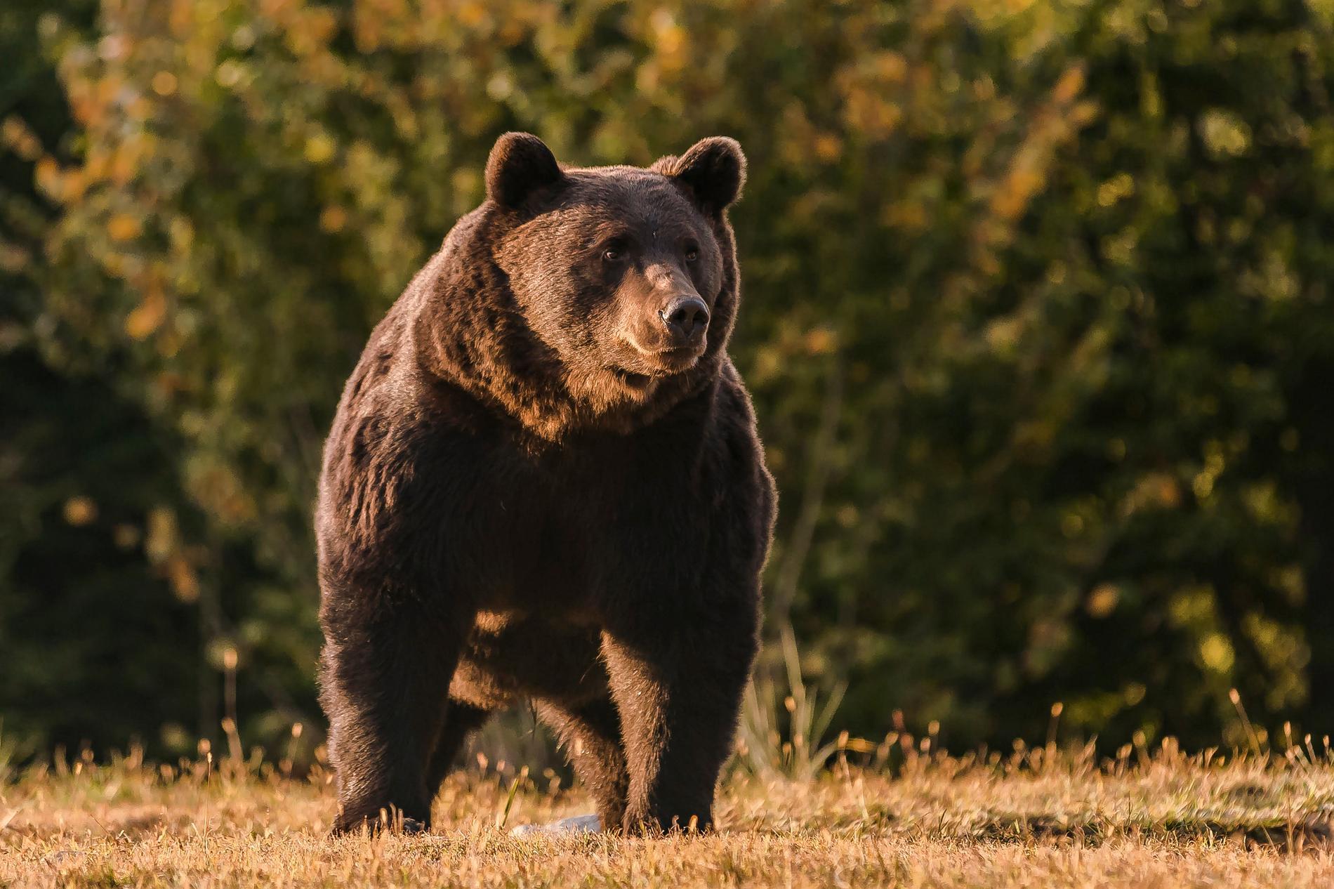 Brunbjörnen Arthur fångad på bild i länet Covasna 2019.