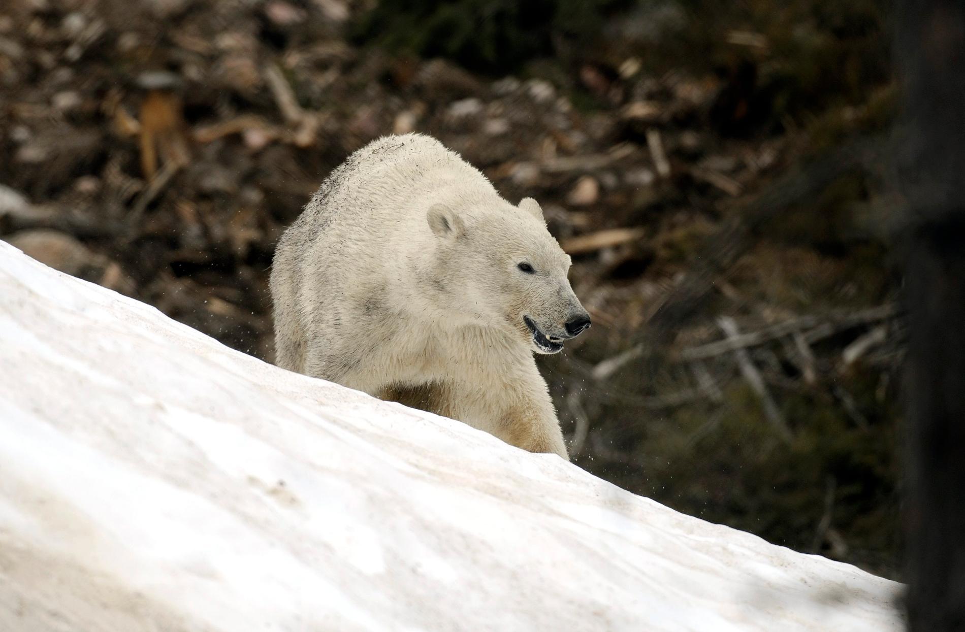 Isbjörnen i texten beskrivs som ovanligt aggressiv. Arkivbild.