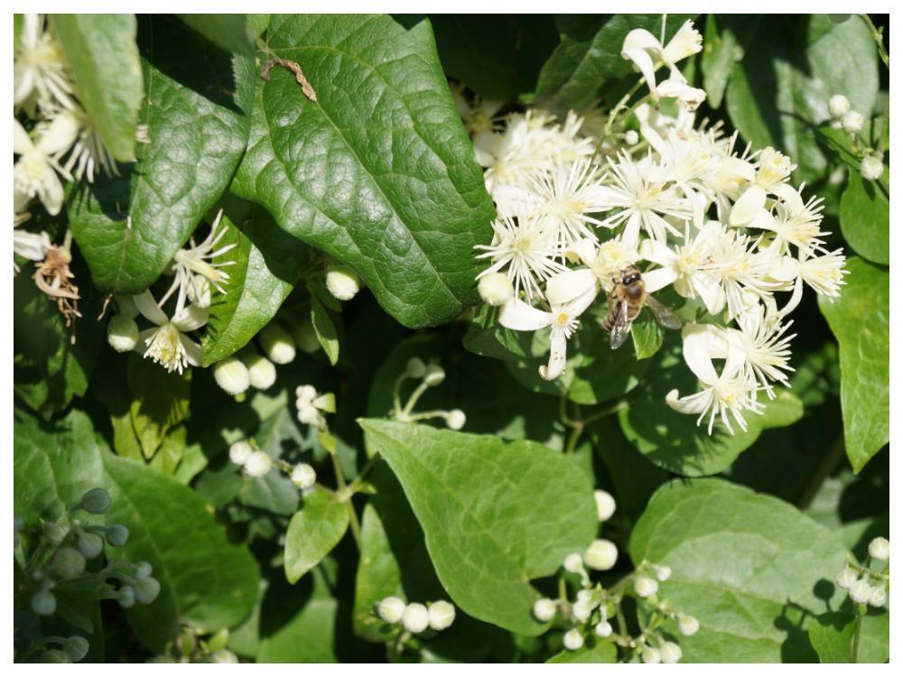 Klematis Alba blommar från juli till september.