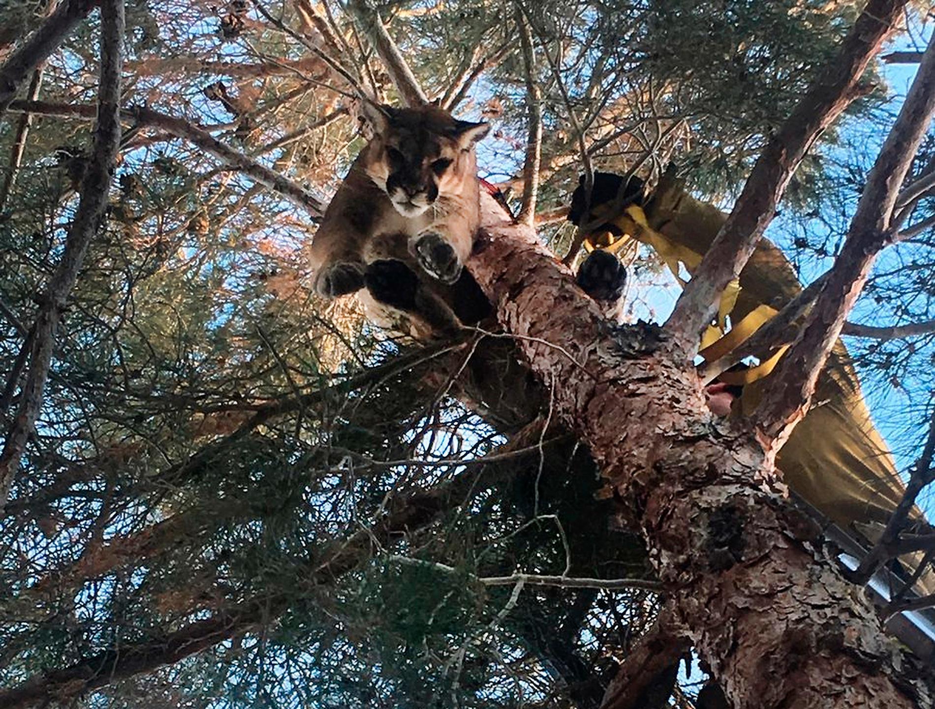 Puman hissas ner från ett träd.