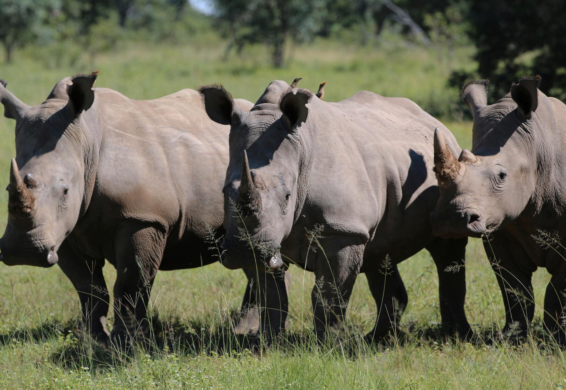 Noshörningar i Sydafrika. Arkivbild.