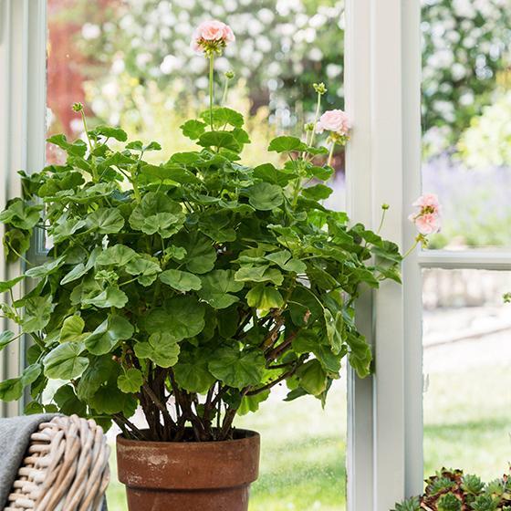 Mårbackapelargonen är lång och ranglig och måste klippas om man vill ha en knubbigare planta. Den växer sig finare för varje år som den klipps.