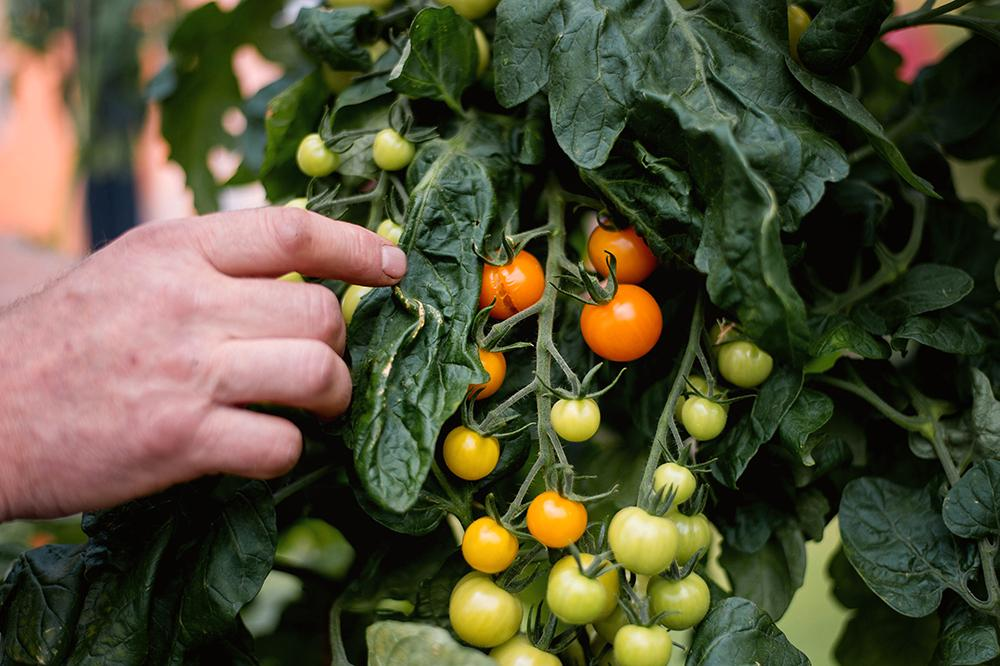 Toppa tomatplantorna.