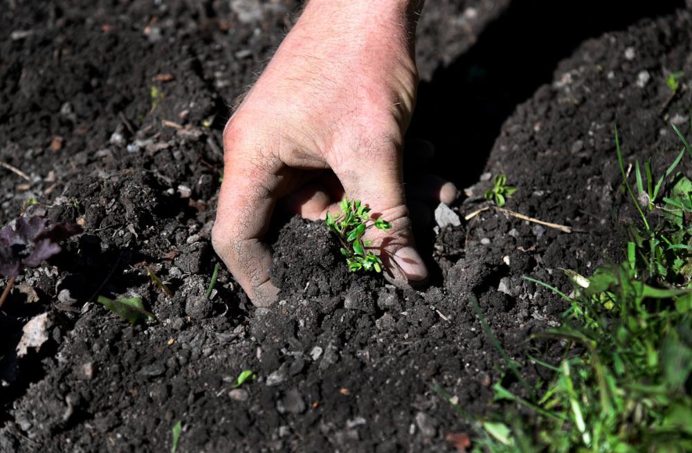 Örtartat ogräs kan ligga kvar och torka i rabatten.