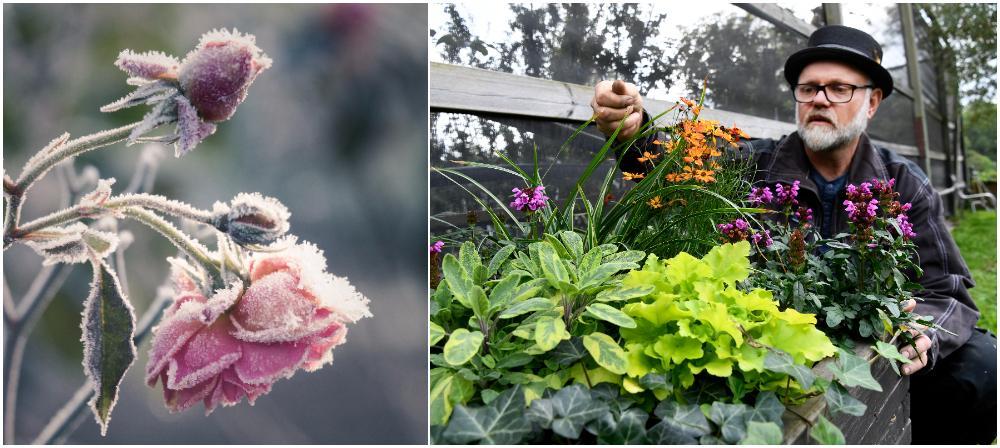 Helt plötsligt är den där – frosten. Den kan ställa till det för dig i trädgården.