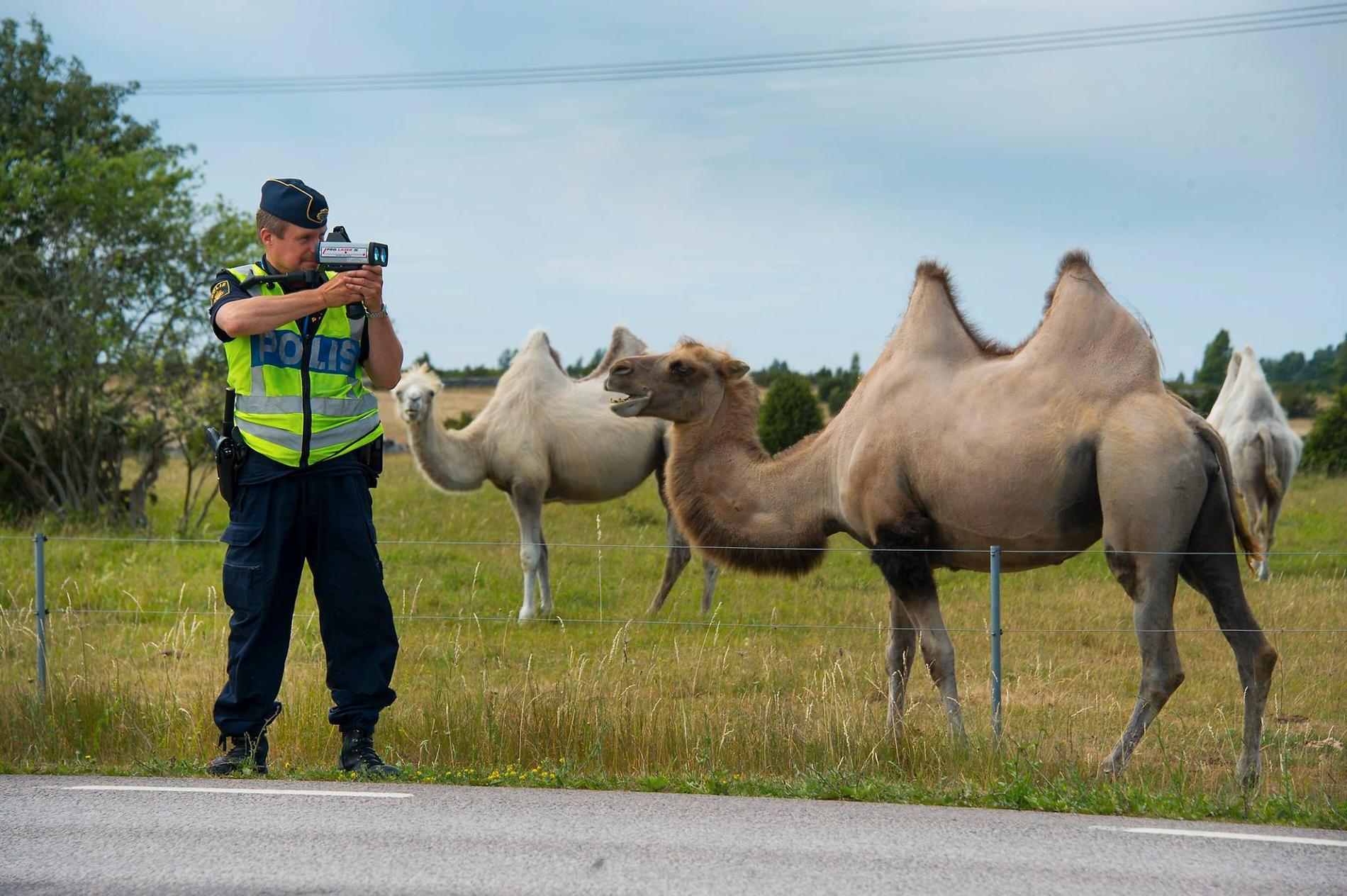 Kamelerna hälsade på under en hastighetskontroll