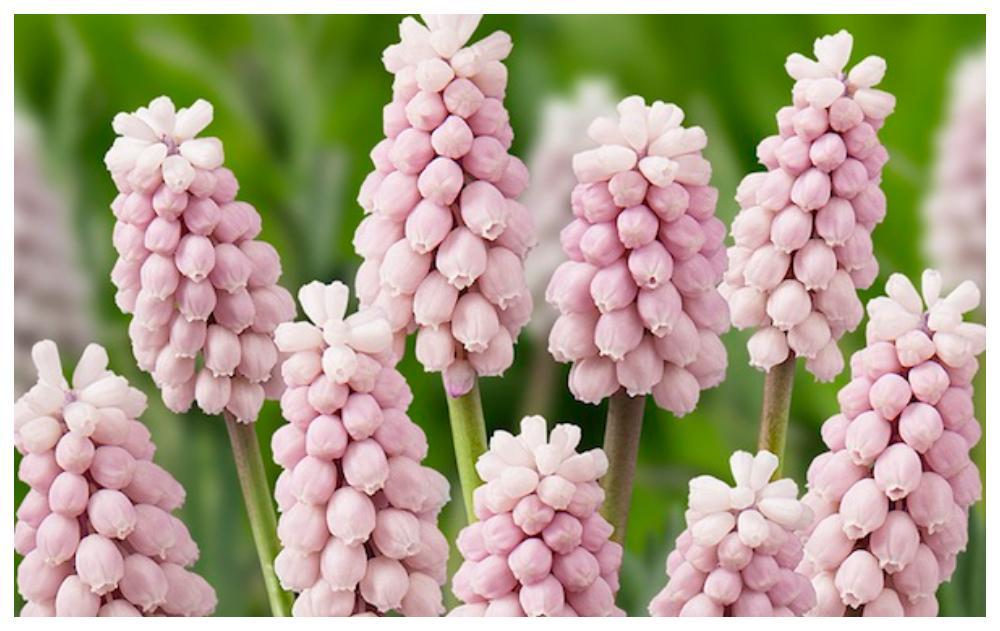Ljuvligt rosa pärlhyacinter för vårrabatten.