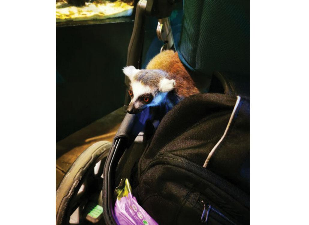 Lemurerna var mycket intresserade av nio månader gamla Kevins barnvagn. När mamma Zarah tyckte de blev för närgångna försökte hon mota bort dem – det togs inte emot väl av.