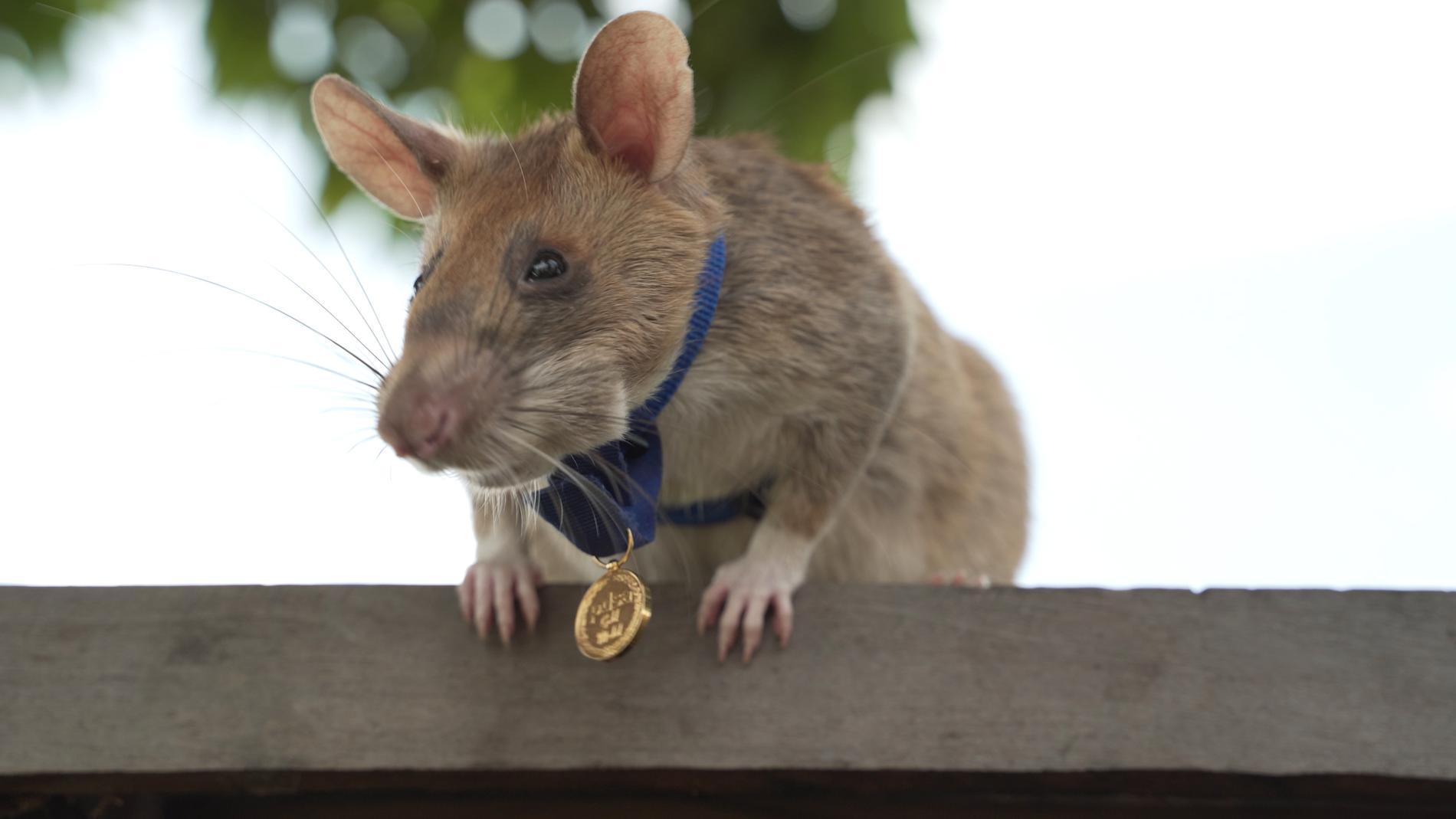 Magawa med den lilla medaljen runt halsen.