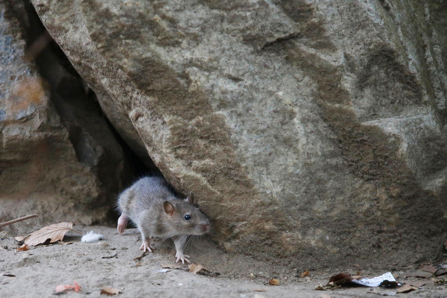 New York-råtta. Arkivbild.