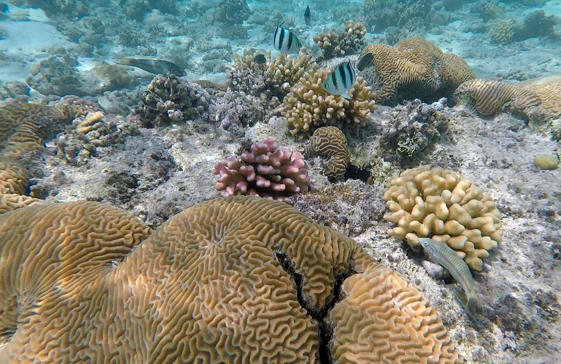 En studie från brittiska forskare visar att korallreven kan räddas på ett oväntat sätt. Arkivbild.