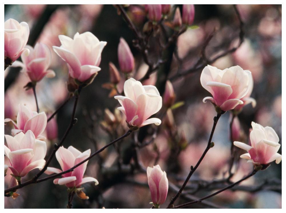 De flesta magnolior blommar på bar kvist.