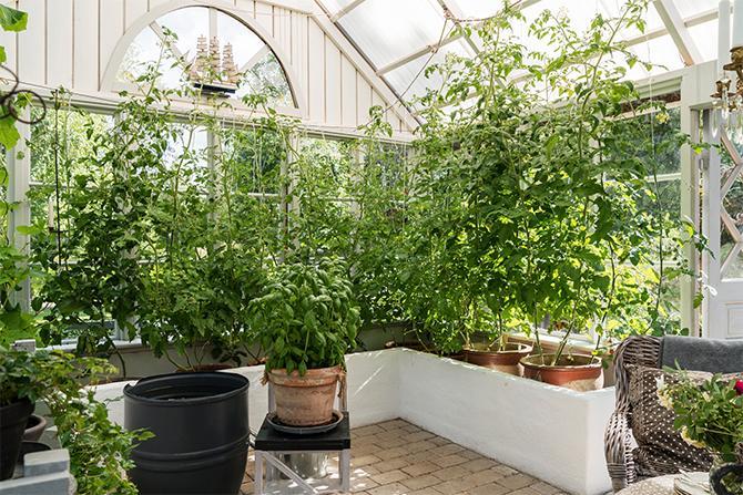 Växthuset har en högre takhöjd än vad som är standard på färdiga byggsatser, vilket ger en rymligare känsla och även ett bättre klimat för växterna.
