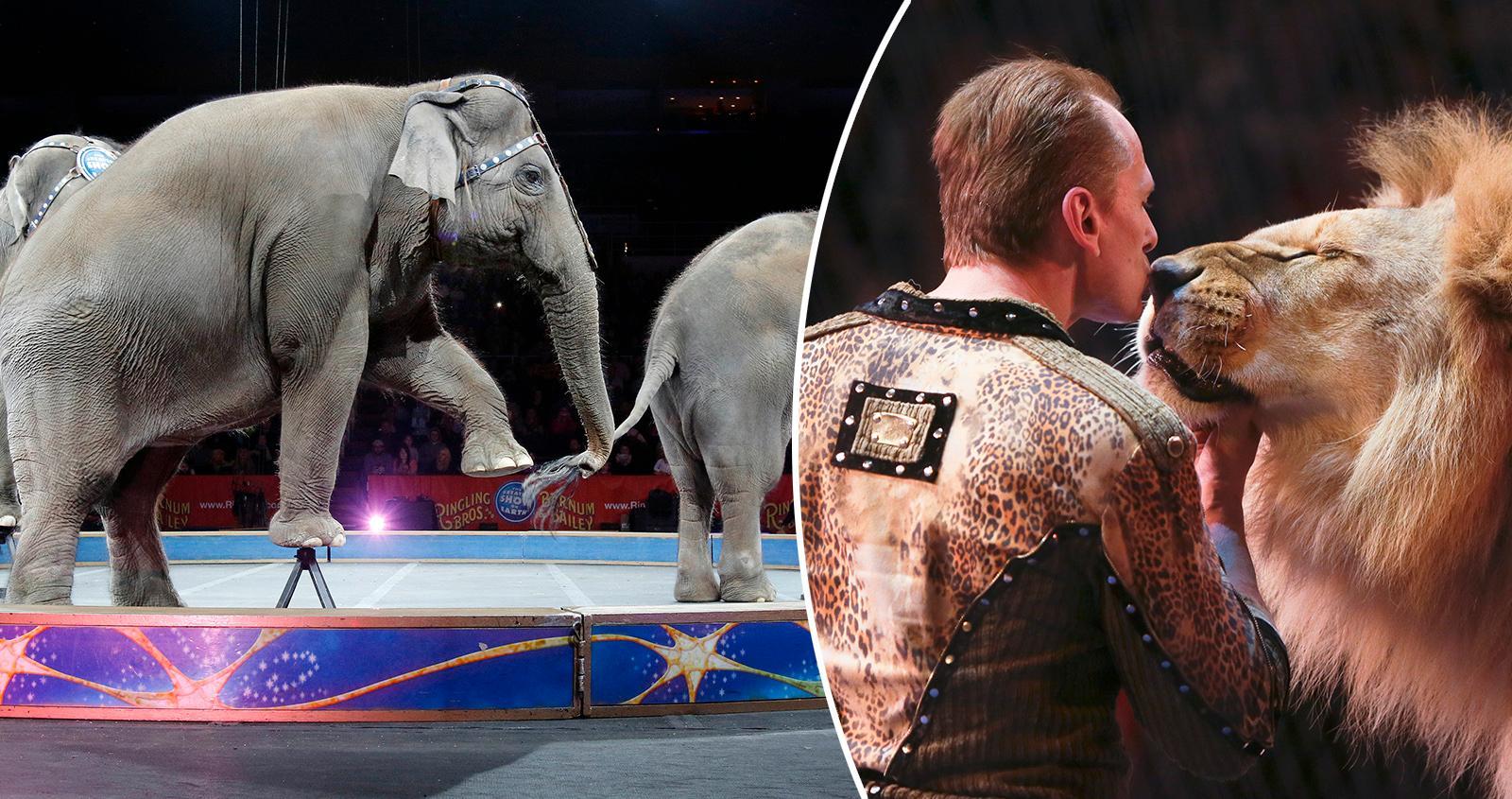 Vilda djur förbjuds på cirkus i Litauen.