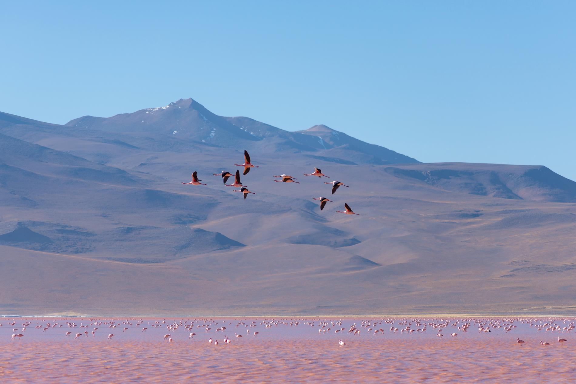 Laguna Colorada är grund, salt och rosa.