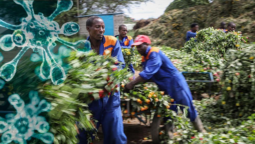 I Afrika kan hälften av alla arbetstillfällen försvinna, enligt FN. I Kenya har exempelvis tiotusentals anställda på rosodlingar förlorat jobbet. Hela blomindustrin kan slås ut, skriver 18 debattörer.