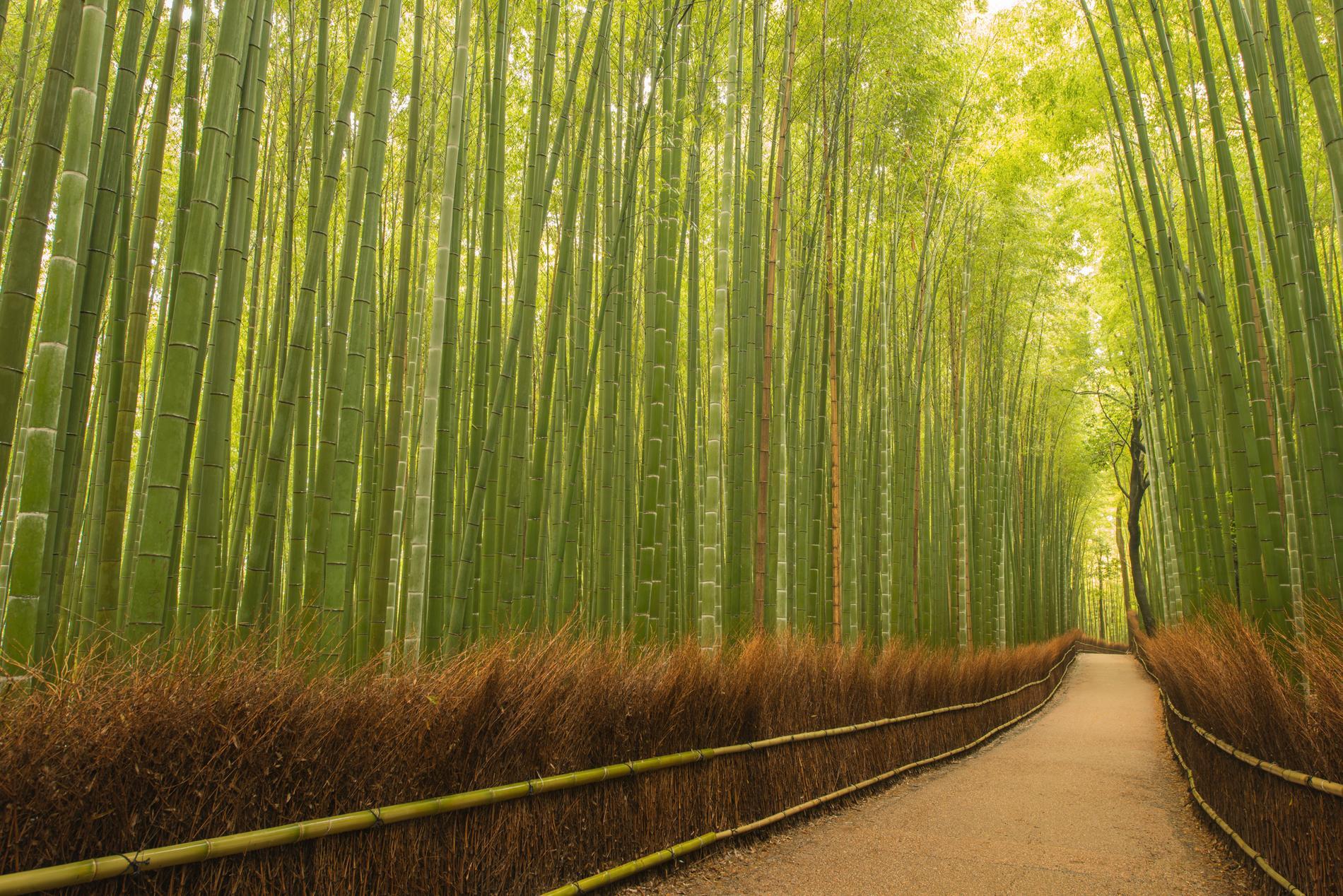 I rashiyama Bamboo Grove är man helt omringad av bambu.